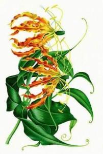 Prachtlelie___Gloriosa_soorten
