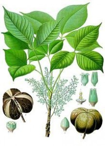 abc9010dc5b6aef780416c78d7864f6e--rubber-plant-rubber-tree