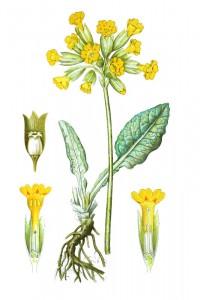 botanische-tekening-gr-gulden sleutelbloem
